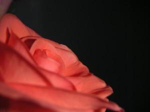 eine-rose