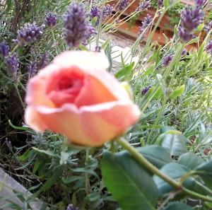 leine-rose1