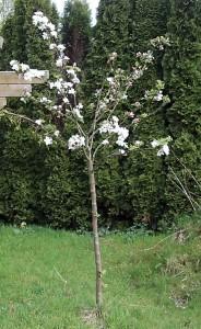 Bäumelein