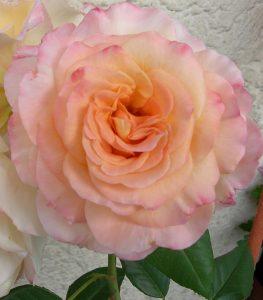 Rose, Dufti,2014
