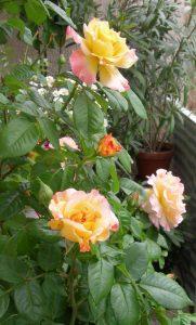 Rose_o