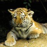 Tigerjunges-1021121_1280