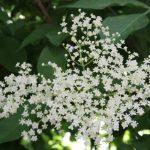 Holunderblüten_o