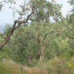 Mohn-ölbaum