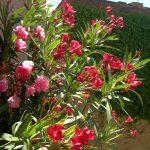 Oleander_o