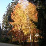 Herbst , Goldbirke, Nerotal