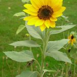 Sonnenblume_o