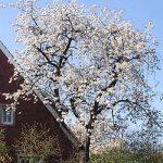 Blütenbaum Horstmar_n