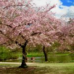 Blütenbaum_n